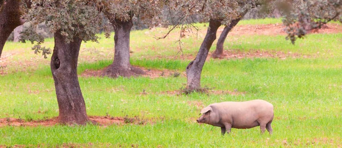 Cerdo ibérico en la estepa de Aracena, Huelva